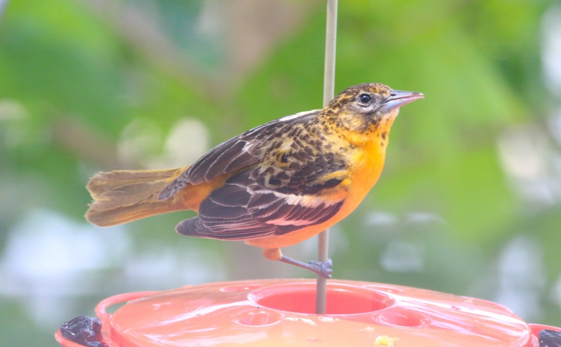 Female-Oriole-20200519