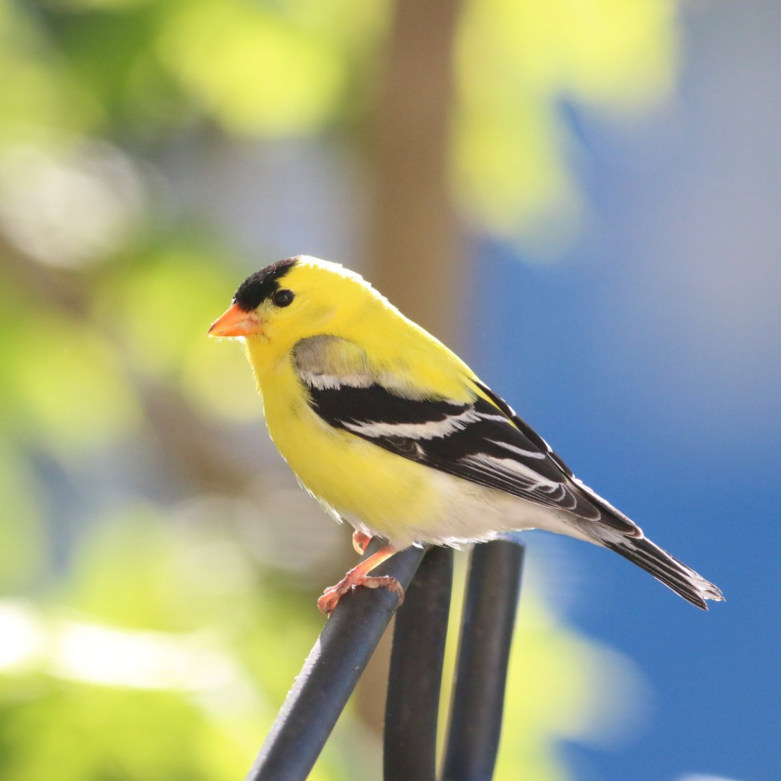 Goldfinch-20200519
