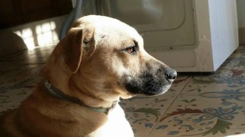 Adopta a Denia, cruce de labrador en Sevilla