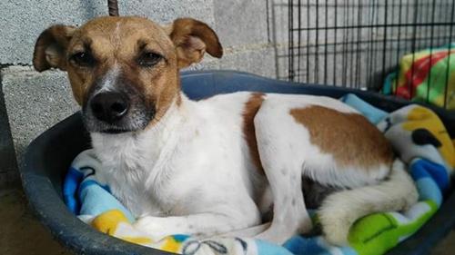 Tito cruce de bodeguero, adopta un perro en Sevilla