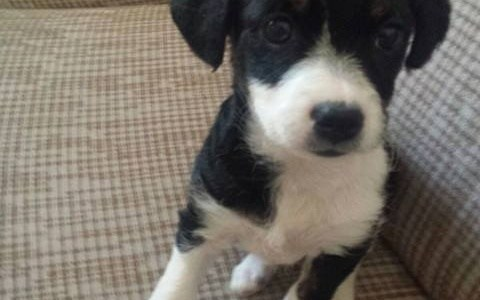 Laika, Cruce de Perro de Agua