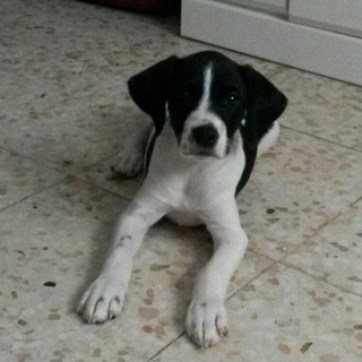 Mix de Pointer en adopcion en Sevilla