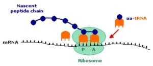 New Post has been published on Protein Synthesis | Biology News Feed
