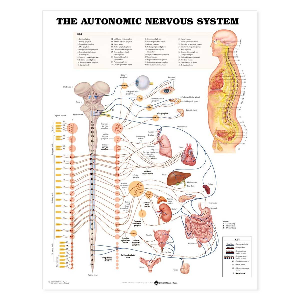 The Autonomic Nervous System Anatomical Chart 20 X 26