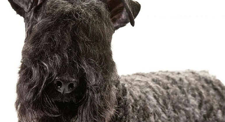 11 Dog Breeds That Dont Shed
