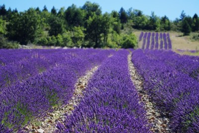 lavender-field provence