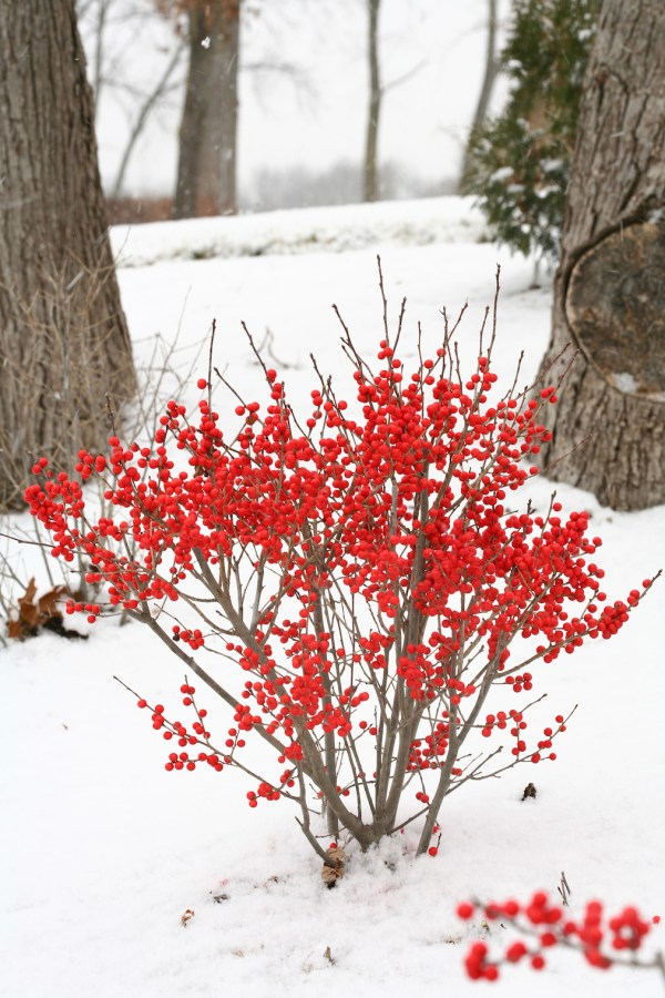 shrubs with winter interest proven