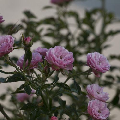 Oso Easy174 Petit Pink Landscape Rose Rosa x Proven