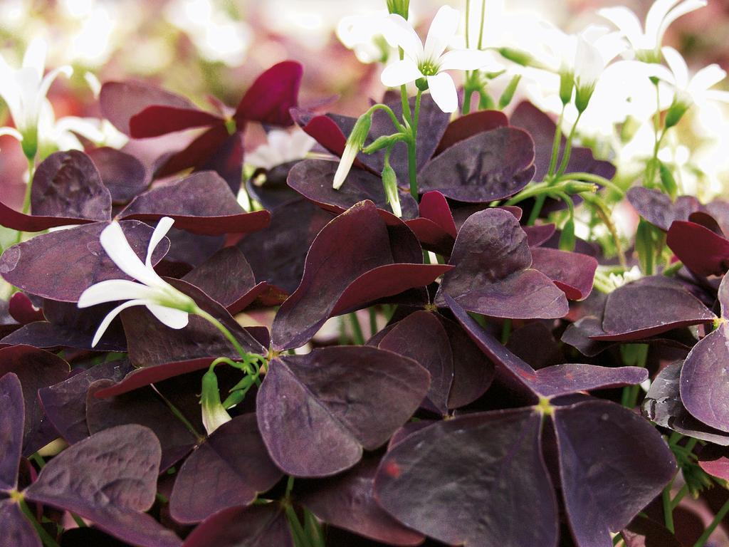 Proven Accents 174 Charmed 174 Wine Shamrock Oxalis Hybrid
