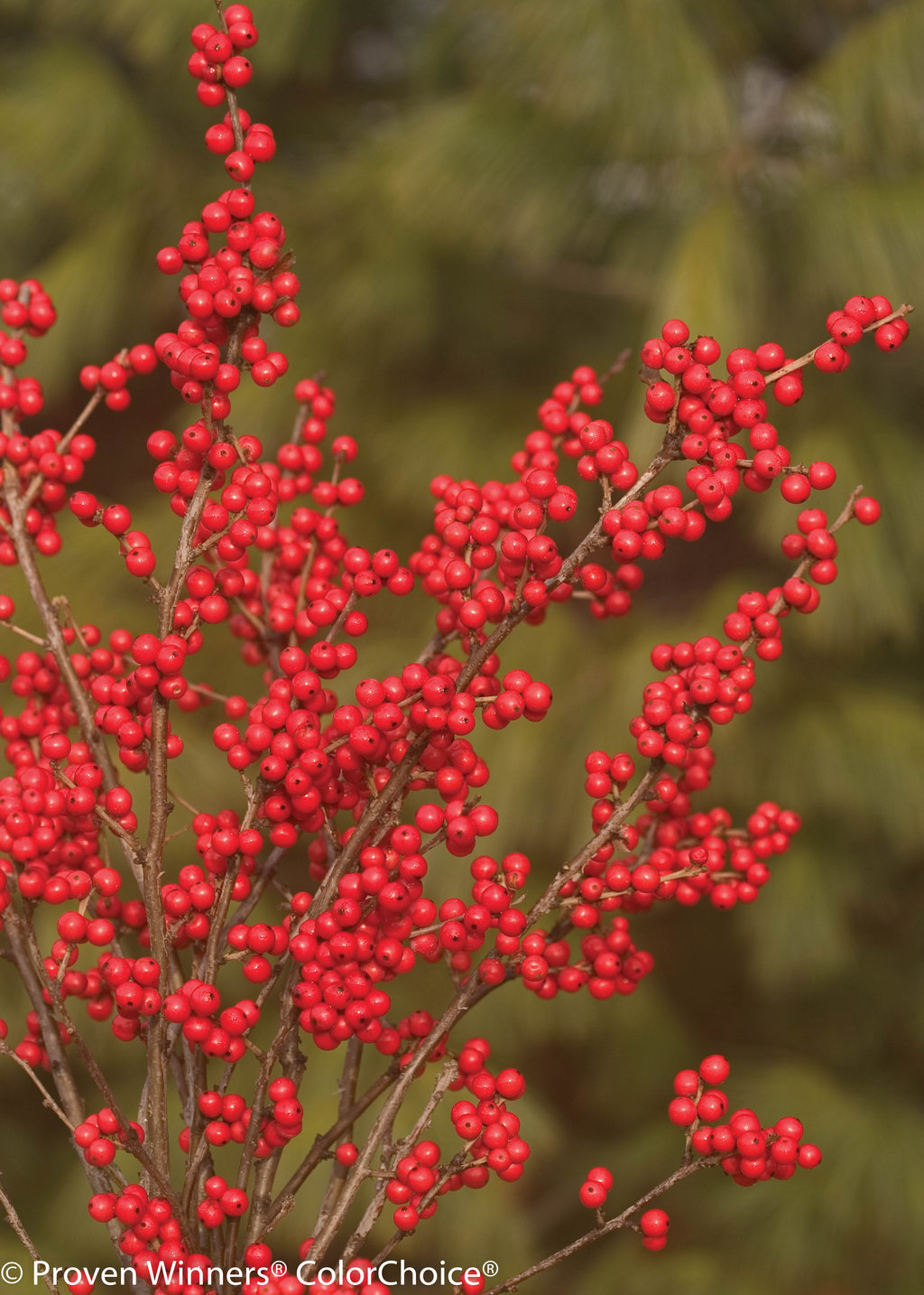 Berry Nice  Winterberry Holly  Ilex verticillata  Proven Winners
