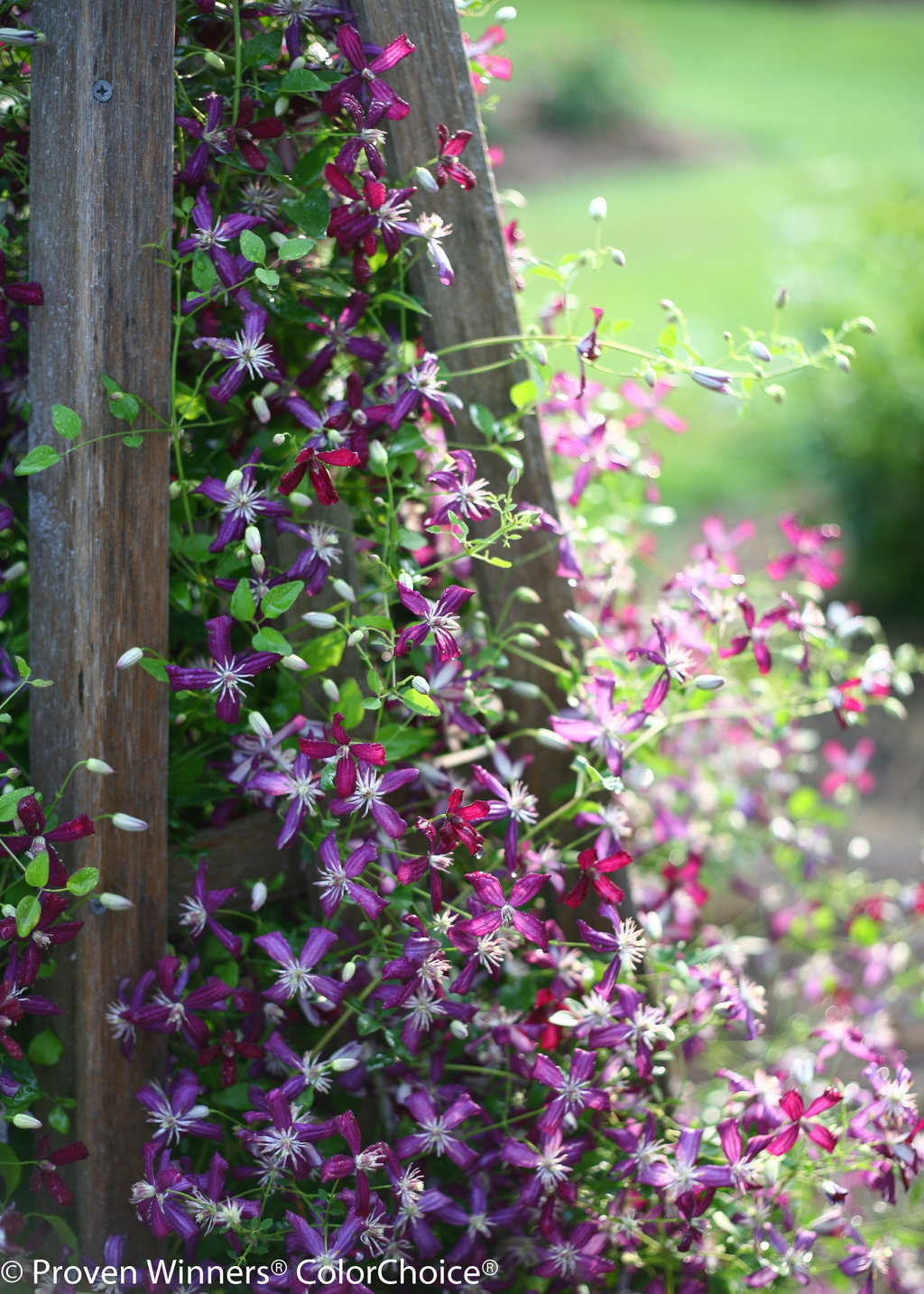 Sweet Summer Love  Clematis x Images  Proven Winners