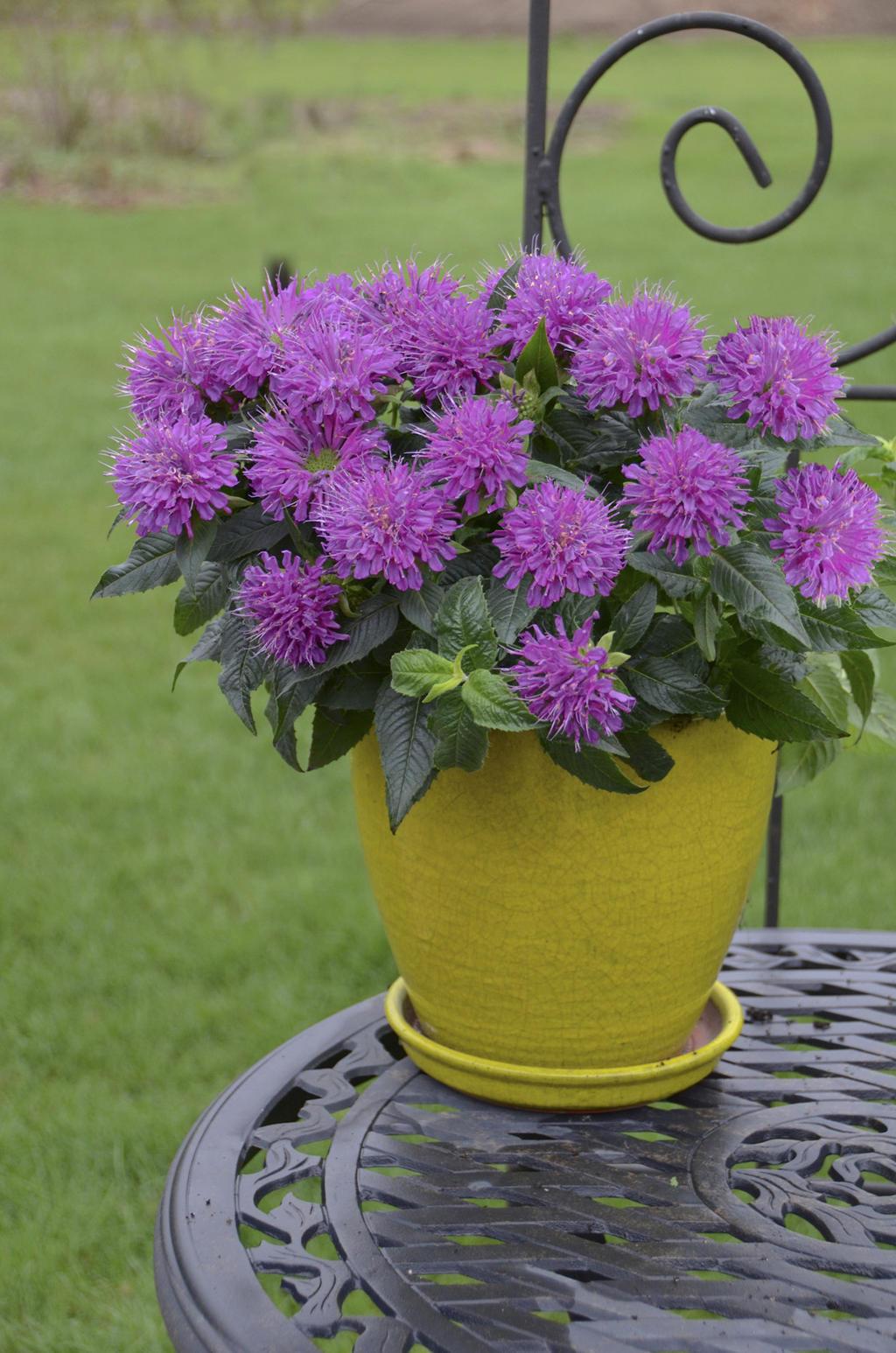 Pardon My Purple  Bee Balm  Monarda didyma Images