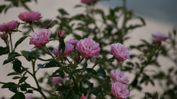 Oso Easy174 Petit Pink Landscape Rose Rosa x Proven