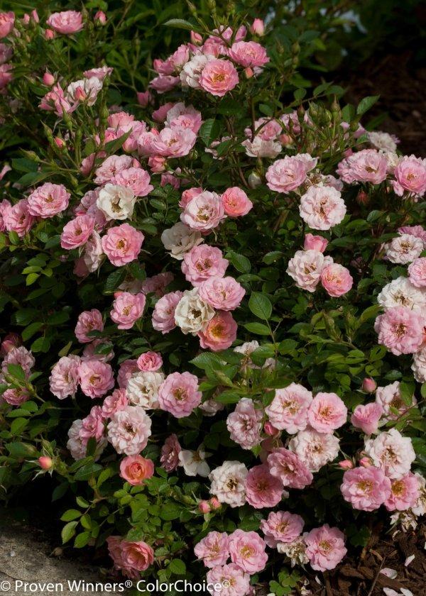 Oso Easy174 Petit Pink Landscape Rose Rosa x Images