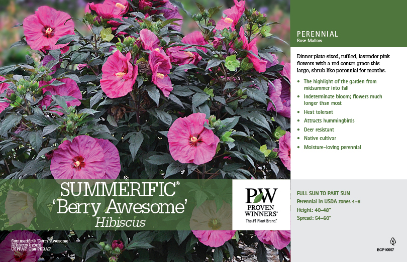 Hibiscus Summerific 174 Berry Awesome Rose Mallow 11x7