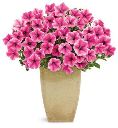 supertunia_mini_strawberry_pink_veined.jpg | Proven Winners