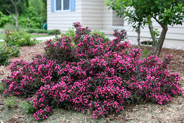 5 top-rated shrubs easy maintenance