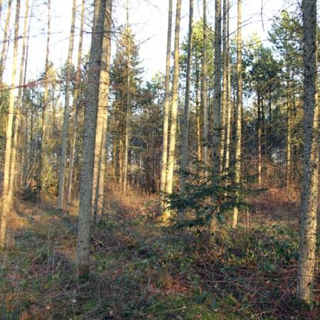 Lærketræ