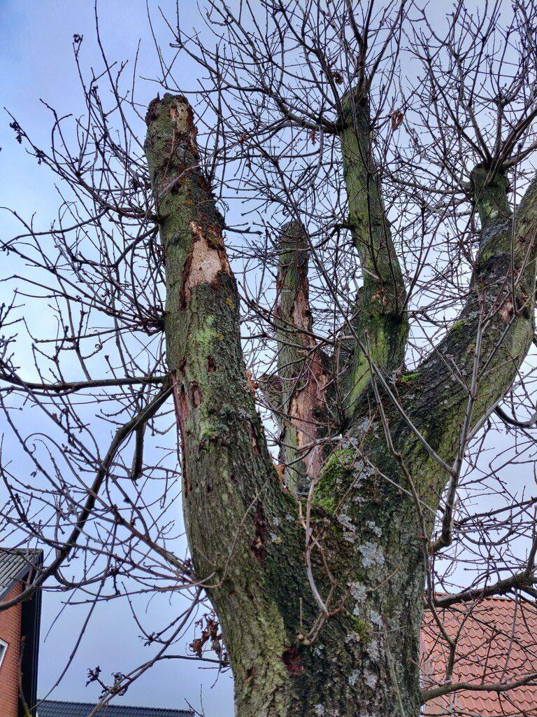 Beskæring af egetræ