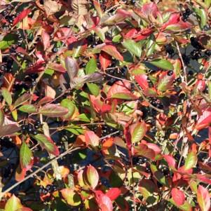 Surbær er et godt plantevalg til efterårets farver