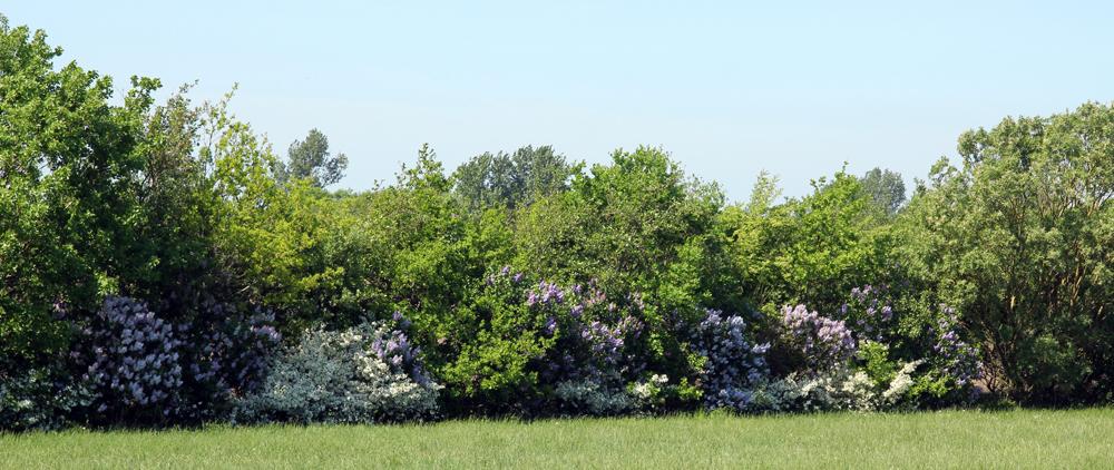 træer til læhegn