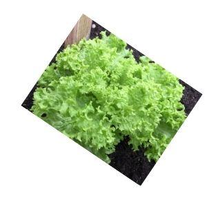 Salade feuille de chêne Bio d'Alsace