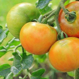 Variétés de Tomates Bio d'Alsace