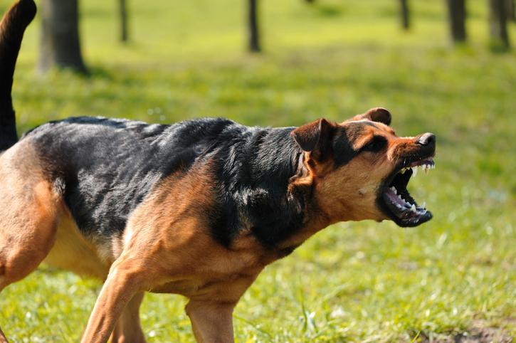 Gos enfadat
