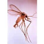 mosquits
