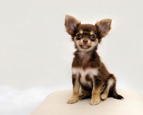 Gossos de Raça Petita 26+3 Races de Menys de 10Kg