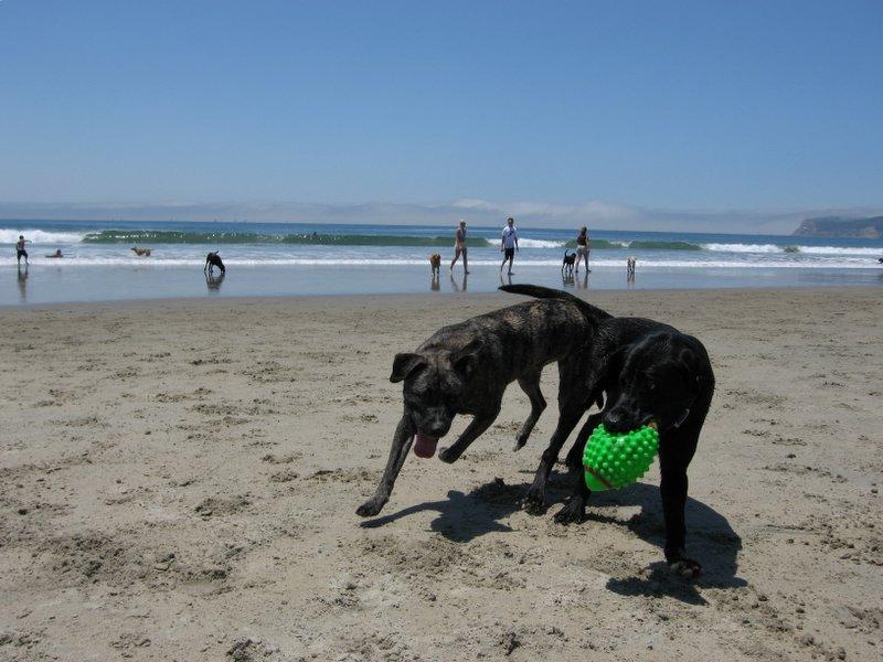 Gossos jugant a la platja