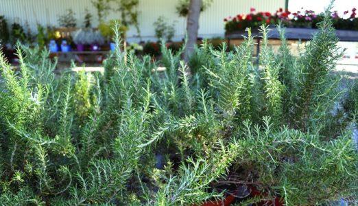 Plantes antimosquits: romani
