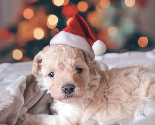 emergències veterinàries nadal