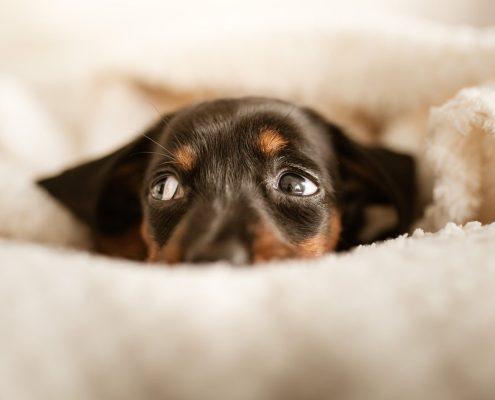 petards: perro con miedo