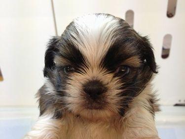 MIX犬(マルチーズ×シーズー)