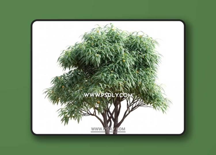 Deciduous tree with fruit - Medlar 3D Models