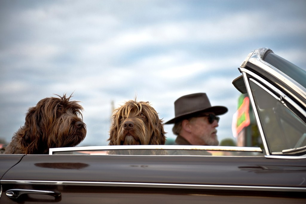 An older person driving in a car with two dogs riding with