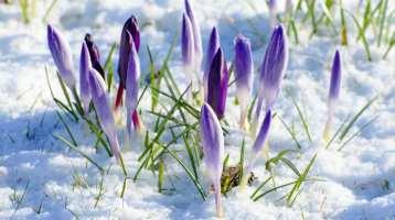 spring purple flow snow