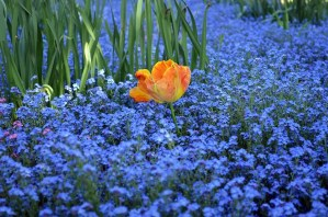 Orange Flowers Blue Tulip Forget Me Not Green