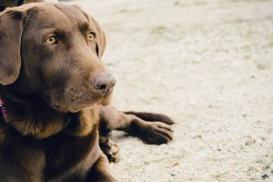 animal dog brown lab