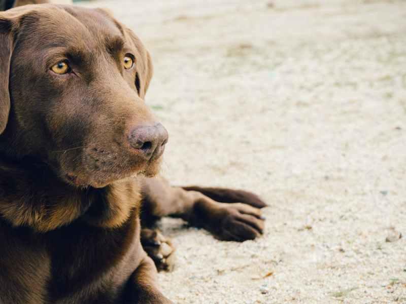 animal dog brown lab