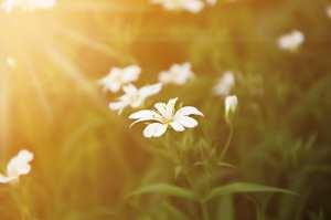 sunset white flowers
