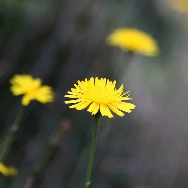 single dandelion flower in focus