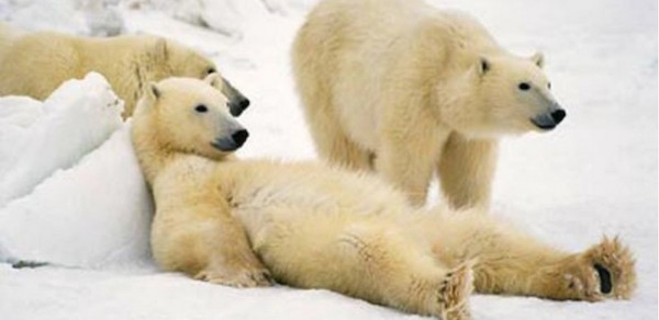 Cool-Polar-Bear-Photos-Im-not-lazy.-Im-just-highly-motivated-to-do-nothing.