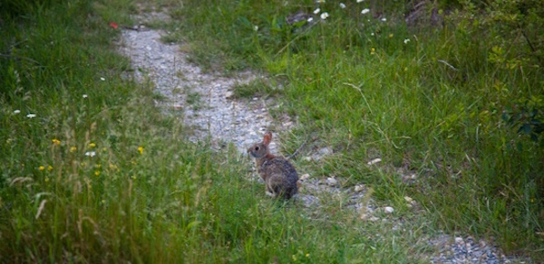spring-peter-cottontail-rabbit-bunny-trail