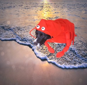 Phoenix, a mostly black lab-like dog, sports a full-body lobster costume; the artificially added background is a beach at sunset, with Phoenix in the water at the edge of the incoming tide