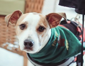 A small, brown and white short-haired dog with floppily perked ears looks directly at the camera with earnest, wide eyes. Only the eye area is in focus and the highlights seem to glow. The dog wears a green bandana and a red harness.
