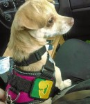 A beige Chihuahua sits on a lap in the front passenger seat of a vehicle, looking to the right. The dog wears a fuchsia vest with black straps and collar, with a kelly green and yellow-gold patch silhouetting a dog and person touching noses. Crystal SD is wearing a pink harness with the yellow and green Psychiatric Service Dog Partners patch while sitting on Bunny's lap in a truck.