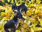 Two small mostly black dogs with tan markings stand and sit on a collection of very yellow leaves as they look off-camera to the right.