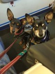 From the floor of an airplane's bulkhead seating, two small Miniature Pinschers with service dog gear on look up at the camera with wide eyes and proportionally large, raised ears.
